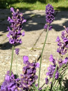 Closeup af lavendler